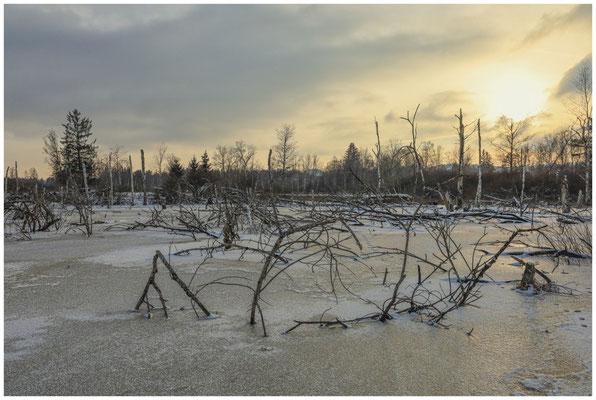 Moorlandschaft mit Totholz im Pfrunger-Burgweiler Ried 5586