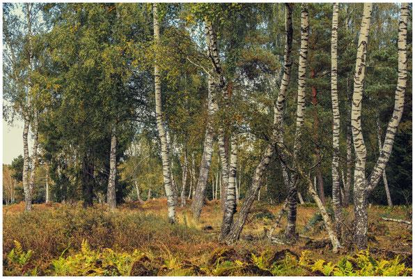 Birken- und Fichtenwald im Schwenninger Moos 4145