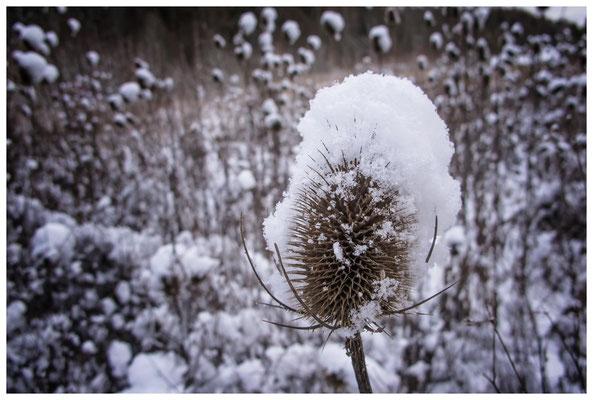 2253 Distel mit Schnee