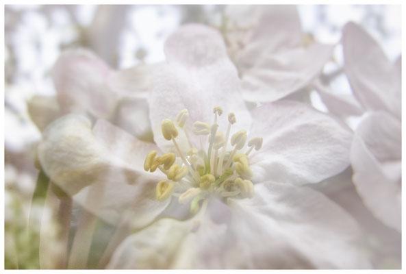 Apfelblüten auf einer Streuobstwiese bei Bermatingen 3493