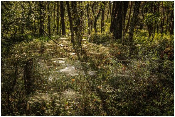 Spinnweben über Heidelbeerbüschen 3711