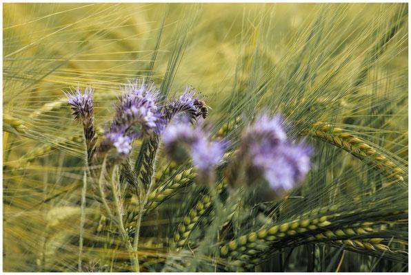 Phacelia und Getreide mit Biene 3076
