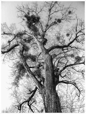8575 NSG Radolfzeller Aach - Baum mit Misteln