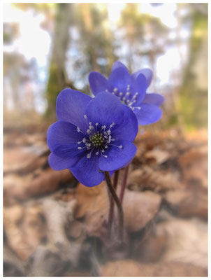 Leberblümchen 8721