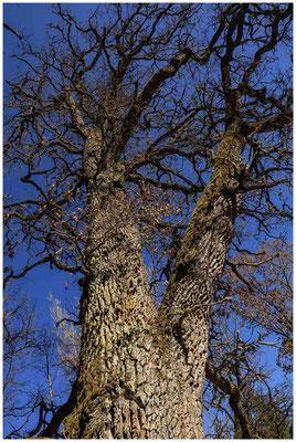 Baum im Unterhölzer Wald 6230
