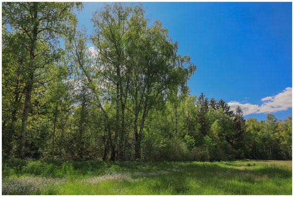 Frühlingslandschaft im Pfrunger-Burgweiler Ried 7349