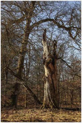 Bäume im Unterhölzer Wald 6181