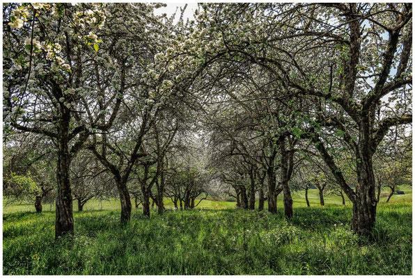 Streuobstwiese mit blühenden Apfelbäumen 2719