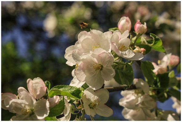 Apfelblüte 2655