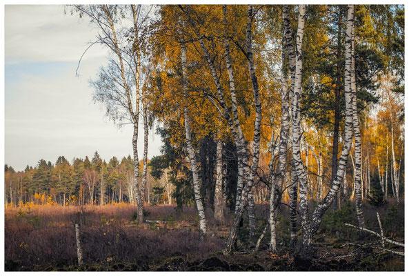 1841 Birkenwald im Schwenninger Moos