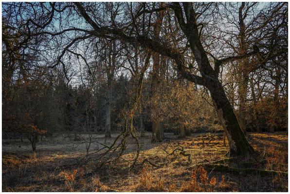 Bäume im Unterhölzer Wald 6368