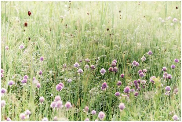 Riedwiese mit Kantenlauch und Wiesenknopf 2995