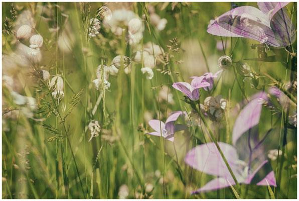 Sommerwiese mit Taubenkropf-Leimkraut und Wiesen-Flockenblume 7503