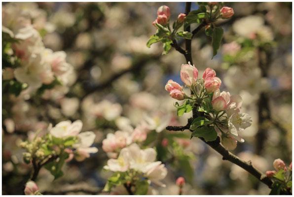 Apfelblüten 2445