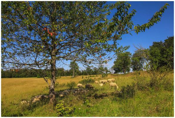 Landschaftspflege mit Schafen im Naturpark Obere Donau 7922