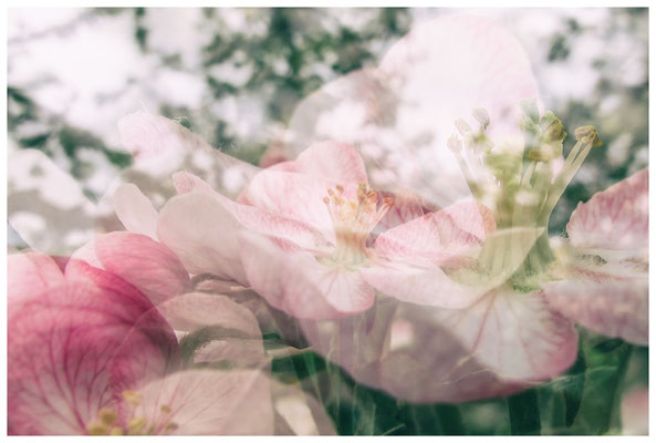 Apfelblüten auf einer Streuobstwiese bei Bermatingen 3486