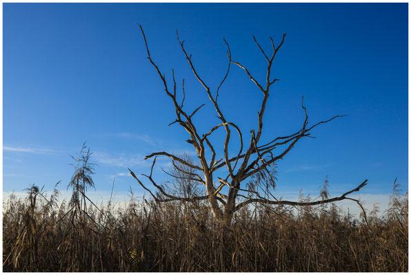 Abgestorbener Baum im Pfrunger-Burgweiler Ried 5000