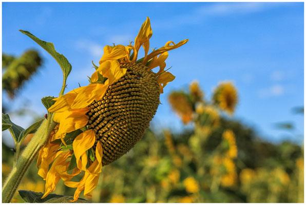 Sonnenblume 0295