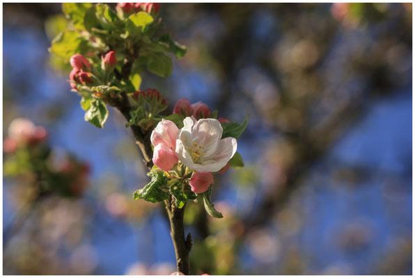 Apfelblüte 2402