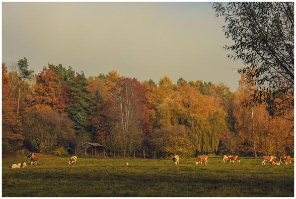 Grasende Rinder vor Herbstwald 4774