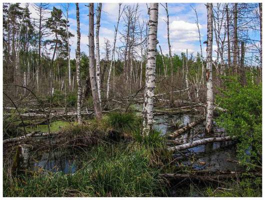 4583 Geflutete Totholzflächen im Ried