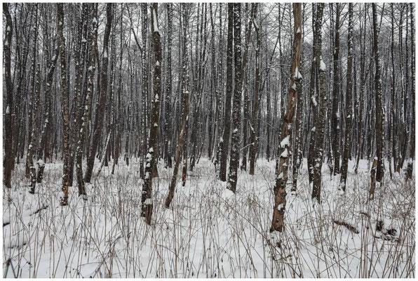 Verschneite Bäume im NSG Heudorfer Ried 5411