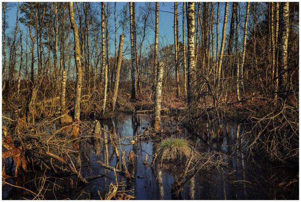 Moorteich mit Totholz im Pfrunger-Burgweiler Ried 6705
