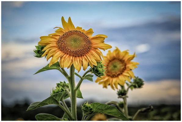 Sonnenblumen 0415