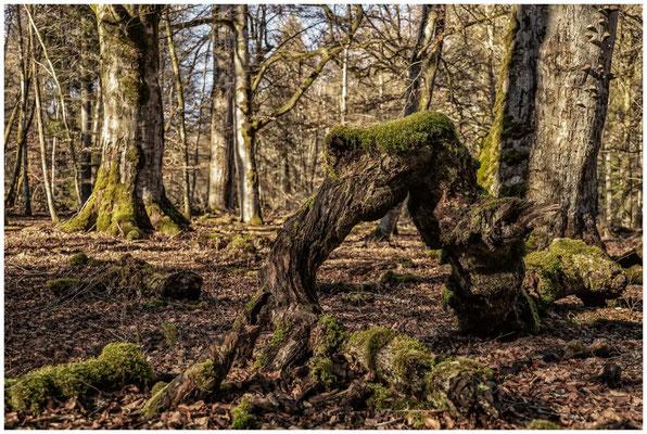Moose und Bäume im Unterhölzer Wald 6319