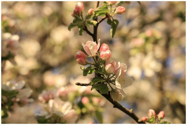 Zweig mit Apfelblüten 2478
