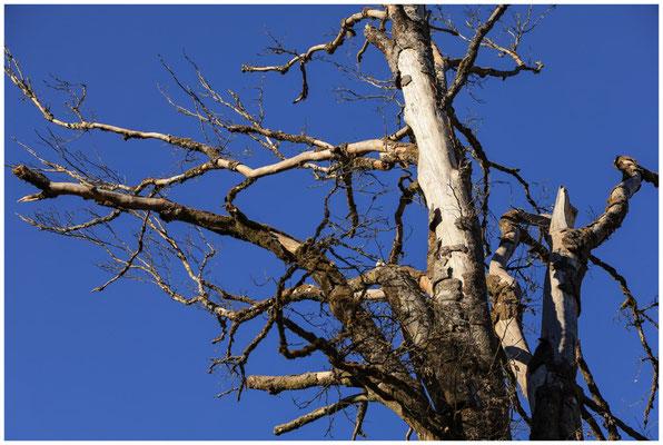 Totholz im Unterhölzer Wald 6313