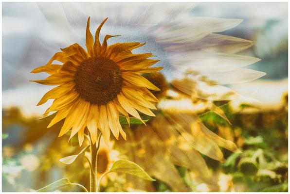 Sonnenblumen 0401