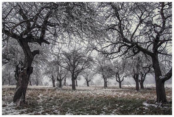 Winterliche Streuobstwiese mit Raureif 2538