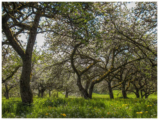 Blühende Obstbäume 9037