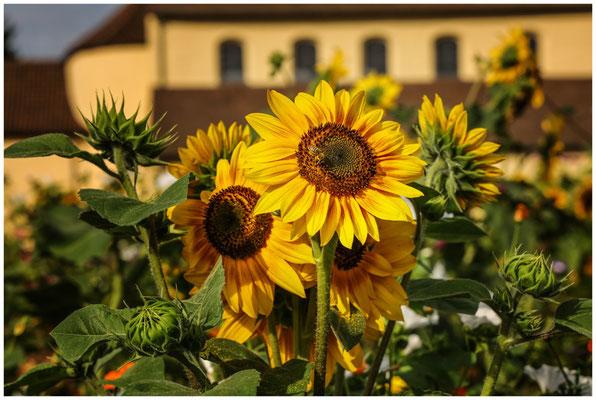 Sonnenblume 0639