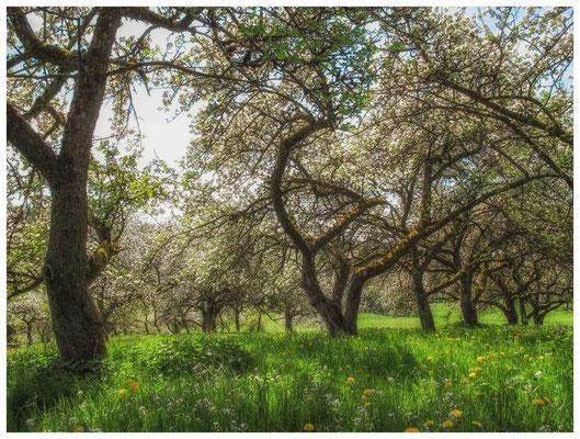Blühende Obstbäume 9019
