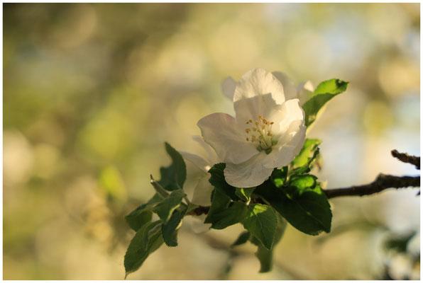 Apfelblüte 2572