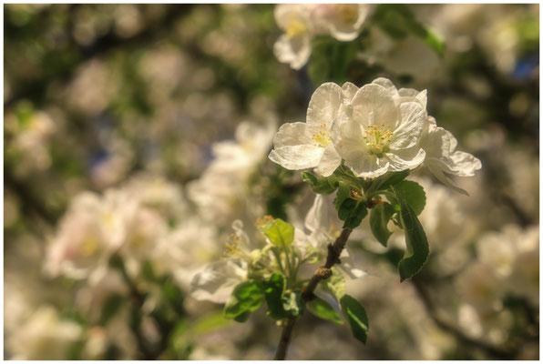 Apfelblüte 2622