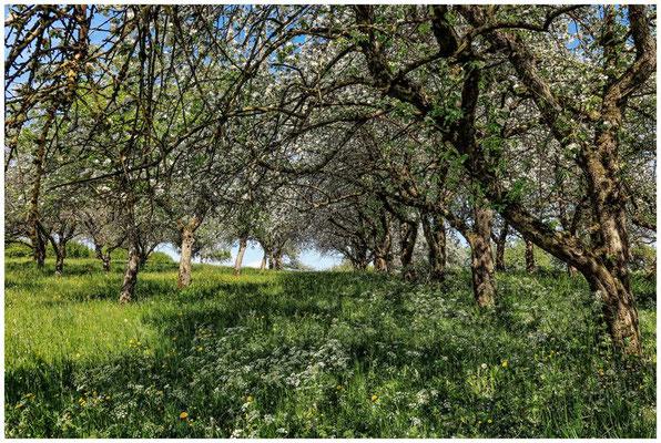 Streuobstwiese mit blühenden Apfelbäumen 2703