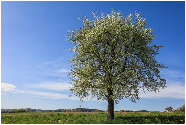 Blühender Birnbaum bei Mahlspüren i. Hg. 2373