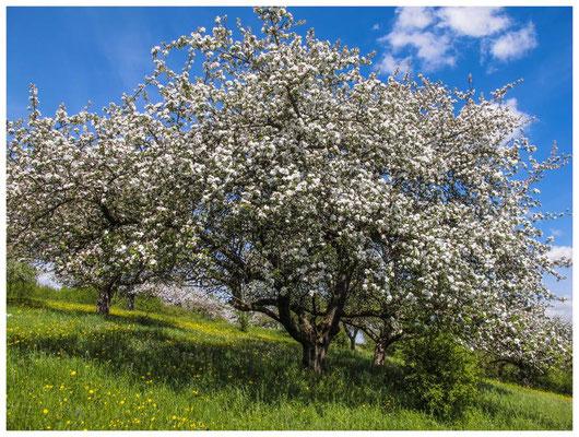 Blühender Obstbaum 9015