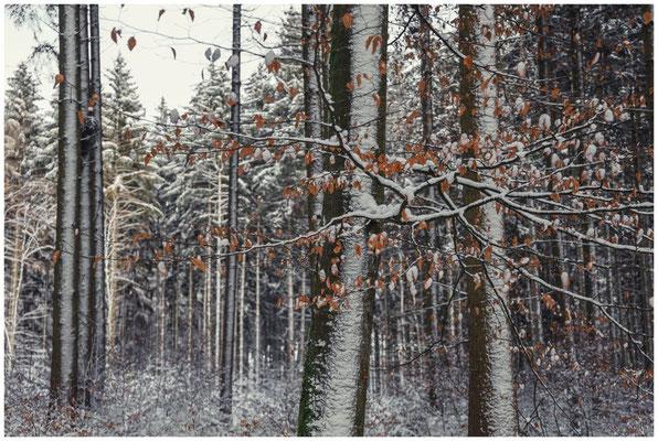 Verschneite Buchenstämme mit Laub 5686