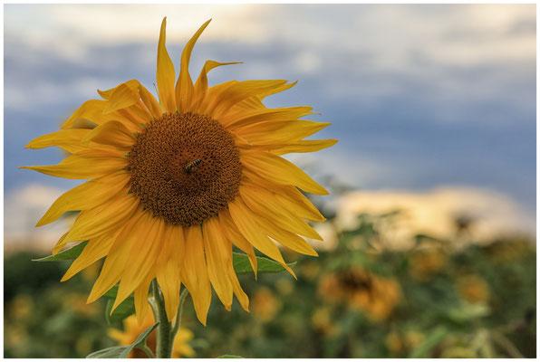 Sonnenblumen 0400
