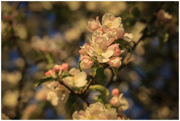 Apfelblüte 2598