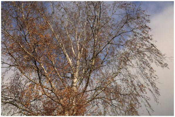 Birke mit Herbstlaub 4737