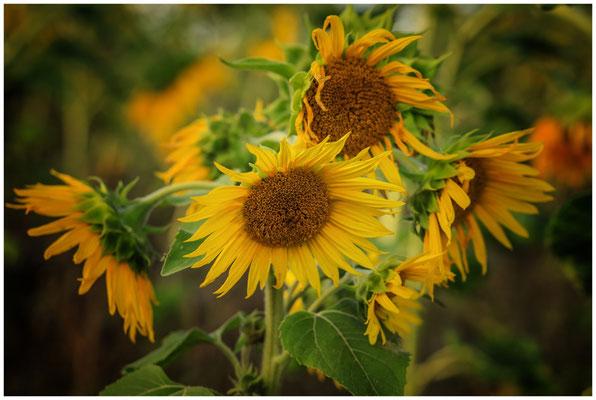 Sonnenblumen 0306