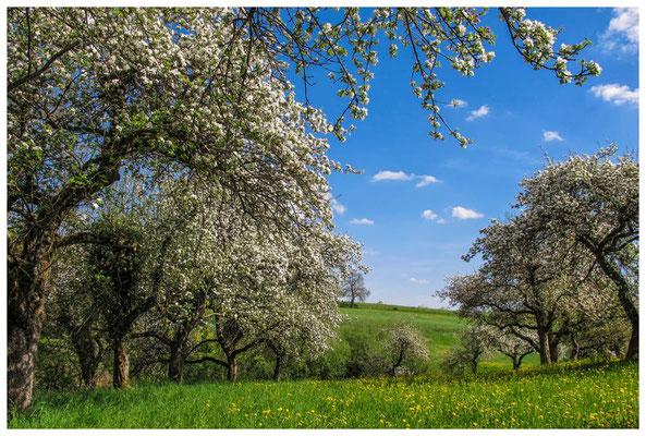 Blühende Obstbäume im Hegau 9062