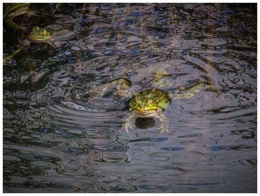 """4560 """"de Froschen"""" - ein Konzert der besonderen Art - zig Wasserfrösche bevölkern die Teiche"""