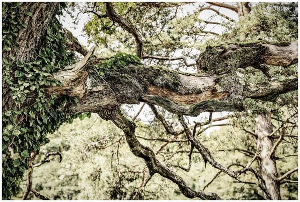 Knorriger Baum mit Efeu, Flechten und Moose bewachsen 8194