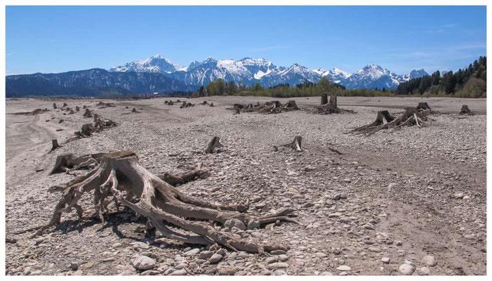 Baumstümpfe im Forggensee bei Füssen